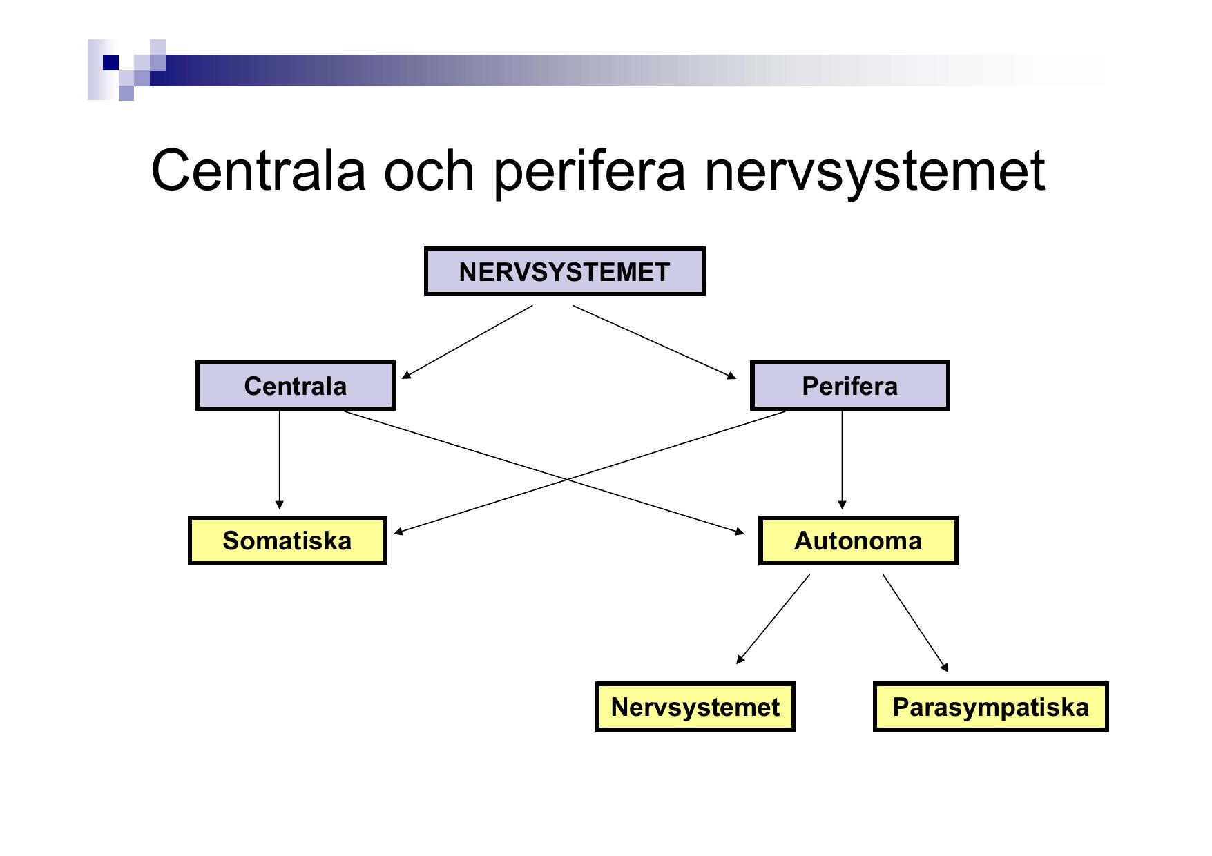 centrala och perifera nervsystemet