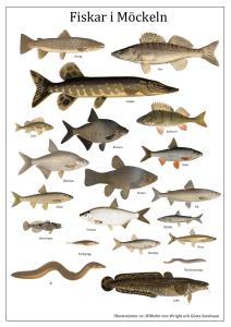 fisk representativa arter