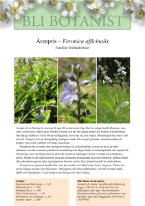 Ärenpris – Veronica officinalis
