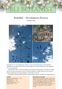 Kruståtel – Deschampsia flexuosa